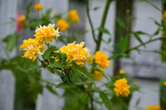 O japonica de Kerria é completamente balanço Imagem de Stock