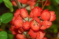 O japonica do marmelo de Japão Florescência Fotografia de Stock