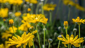 O jardim amarelo Fotografia de Stock