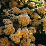 O jardim amarelo aumentou com flores pequenas imagem de stock
