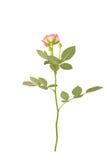 O jardim aumentou com folhas Imagens de Stock Royalty Free