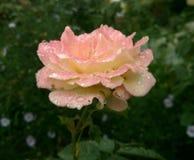 O jardim aumentou verão cor-de-rosa foto de stock royalty free
