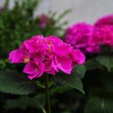 O jardim bonito cor-de-rosa da hortênsia cresce no jardim imagens de stock royalty free