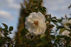 O jardim branco aumentou foto de stock royalty free