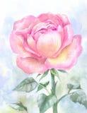O jardim cor-de-rosa aumentou, pintura da aquarela Esboço desenhado à mão, illust ilustração stock