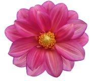 O jardim cor-de-rosa, branco isolou o fundo com trajeto de grampeamento closeup Foto de Stock