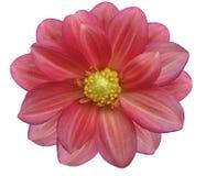 O jardim cor-de-rosa e vermelho, branco isolou o fundo com trajeto de grampeamento Imagem de Stock Royalty Free