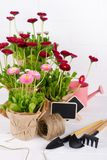 O jardim da mola trabalha o conceito Ferramentas de jardinagem, flores em uns potenciômetros e lata molhando na tabela de madeira fotografia de stock royalty free