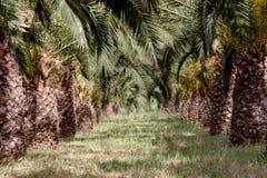 O jardim das palmas de data fotos de stock