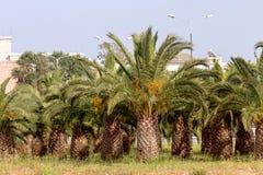 O jardim das palmas de data fotografia de stock