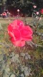 O jardim de rosas foto de stock royalty free