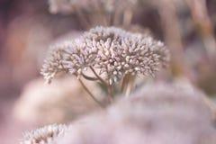 O jardim decorativo bonito Sedum floresce ou lat do stonecrop florescência spectabile do sedum no outono foto de stock royalty free