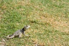 O jardim do lagarto livra a natureza Fotografia de Stock Royalty Free