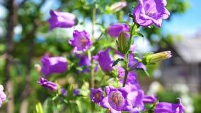O jardim floresce flores bonitas do jardim do sino Bell roxa, grandes inflorescência video estoque