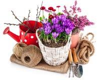 O jardim floresce o açafrão na cesta de vime Fotografia de Stock