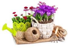 O jardim floresce o açafrão na cesta de vime Imagens de Stock Royalty Free