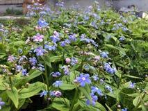 O jardim floresce o lilás Fotografia de Stock