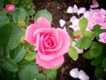 O jardim levantou-se Imagens de Stock Royalty Free