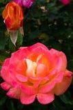 O jardim levantou-se Fotografia de Stock Royalty Free