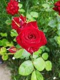 O jardim levantou-se imagem de stock royalty free