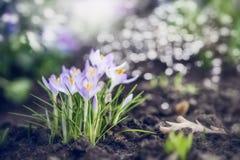 O jardim ou o parque da mola com primeiros açafrões bonitos florescem, natureza exterior Imagem de Stock Royalty Free