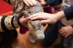 O jardim zoológico de trocas de carícias, crianças toca no crocodilo imagem de stock royalty free