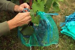 O jardineiro cobre grupos azuis da uva em sacos protetores para proteger Fotografia de Stock