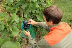 O jardineiro cobre grupos azuis da uva em sacos protetores para proteger Imagem de Stock