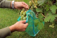O jardineiro cobre grupos verdes da uva em sacos protetores ao protec Imagens de Stock