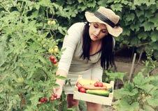 O jardineiro é colher vegetais Fotos de Stock Royalty Free