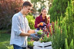 O jardineiro cuidadoso do indivíduo em luvas do jardim põe os potenciômetros com as plântulas na caixa de madeira branca sobre a  fotografia de stock