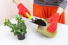 O jardineiro derrama a terra em um potenciômetro para plantas de transplantação Planta relocating de jardinagem home da casa fotos de stock