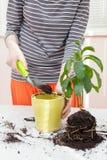 O jardineiro derrama a terra em um potenciômetro para plantas de transplantação Planta relocating de jardinagem home da casa fotografia de stock royalty free