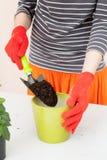 O jardineiro derrama a terra em um potenciômetro para plantas de transplantação Planta relocating de jardinagem home da casa foto de stock royalty free