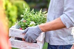 O jardineiro do indivíduo em luvas do jardim mantém a caixa de madeira branca com os potenciômetros com as plântulas nas mãos ext fotografia de stock