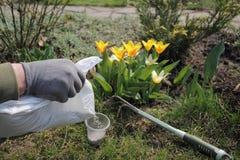 O jardineiro espalha o adubo granulado mineral do pacote para tulipas de florescência da fertilização Imagens de Stock Royalty Free
