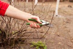 O jardineiro está cortando um corinto com um close up da tesoura de podar manual Fotografia de Stock