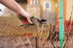 O jardineiro está cortando um corinto com uma tesoura de podar manual Imagem de Stock