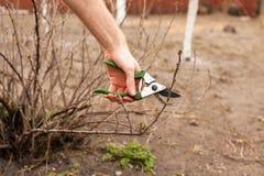 O jardineiro está cortando um corinto com uma tesoura de podar manual Imagens de Stock Royalty Free