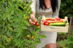 O jardineiro está pegarando tomates Imagem de Stock Royalty Free