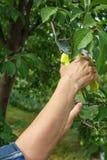 O jardineiro fêmea com tesoura de podar manual corta as pontas da árvore de ameixa imagens de stock