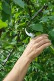 O jardineiro fêmea com tesoura de podar manual corta as pontas da árvore de ameixa fotografia de stock