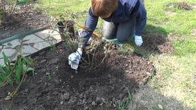 O jardineiro fertiliza cor-de-rosa com adubo mineral no tempo de mola vídeos de arquivo