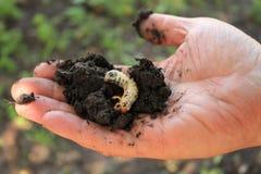 O jardineiro guarda a larva do besouro do besouro europeu em sua mão Imagens de Stock