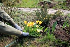 O jardineiro importa-se com tulipas amarelas de florescência na mola Imagens de Stock