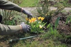O jardineiro importa-se com tulipas amarelas de florescência na mola Foto de Stock Royalty Free