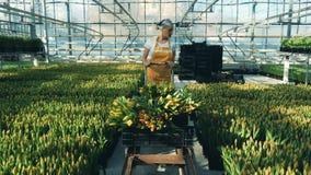 O jardineiro profissional verifica tulipas em uma estufa ao empurrar um carro video estoque