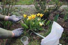 O jardineiro realiza em seu adubo granulado mineral da mão do pacote para tulipas de florescência da fertilização Imagem de Stock