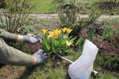 O jardineiro realiza em seu adubo granulado mineral da mão do pacote para tulipas de florescência da fertilização Fotografia de Stock Royalty Free