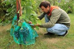 O jardineiro senta e cobre grupos azuis da uva nos sacos protetores t Fotografia de Stock Royalty Free